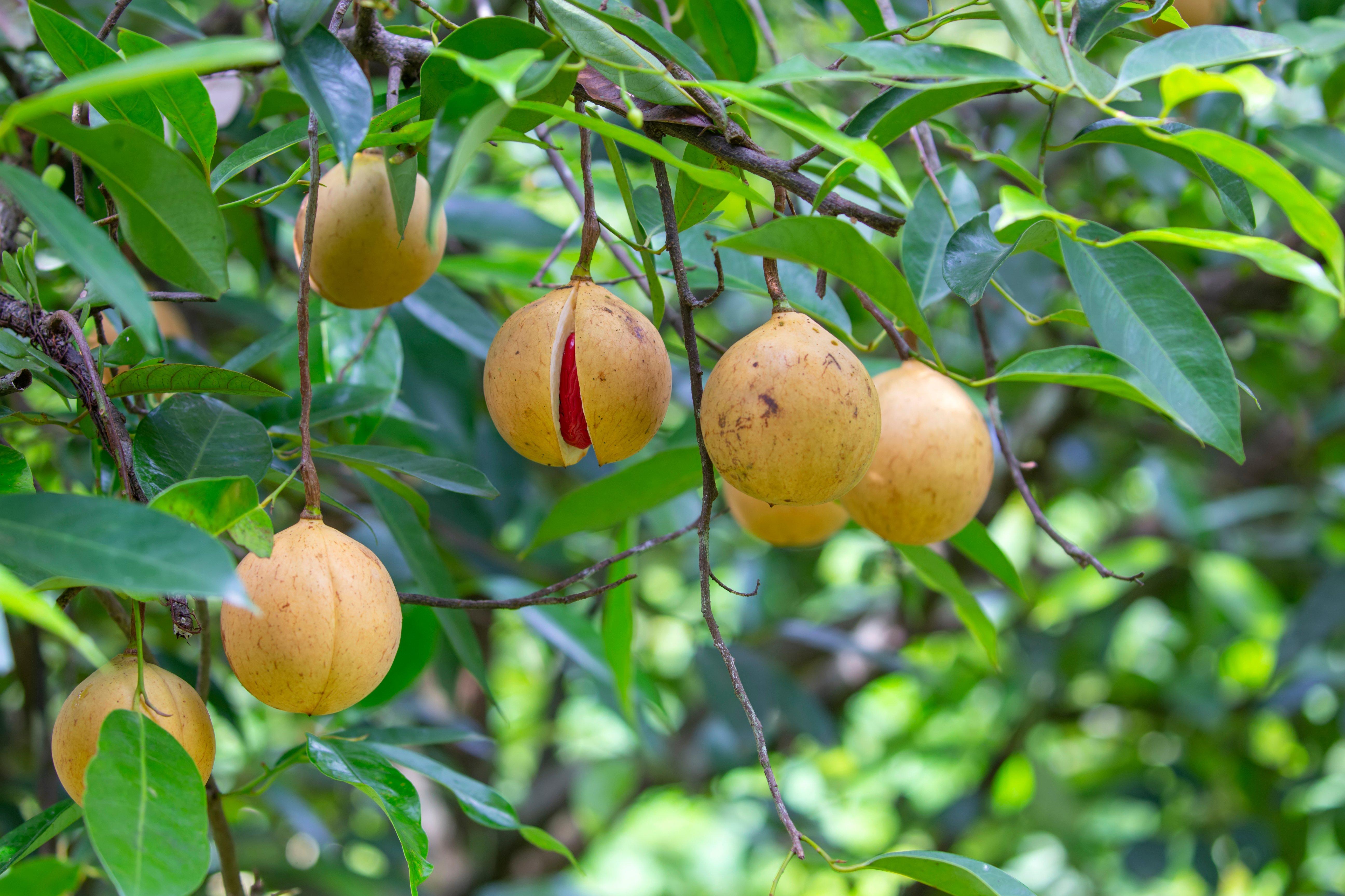 Nutmeg fruit in a tree