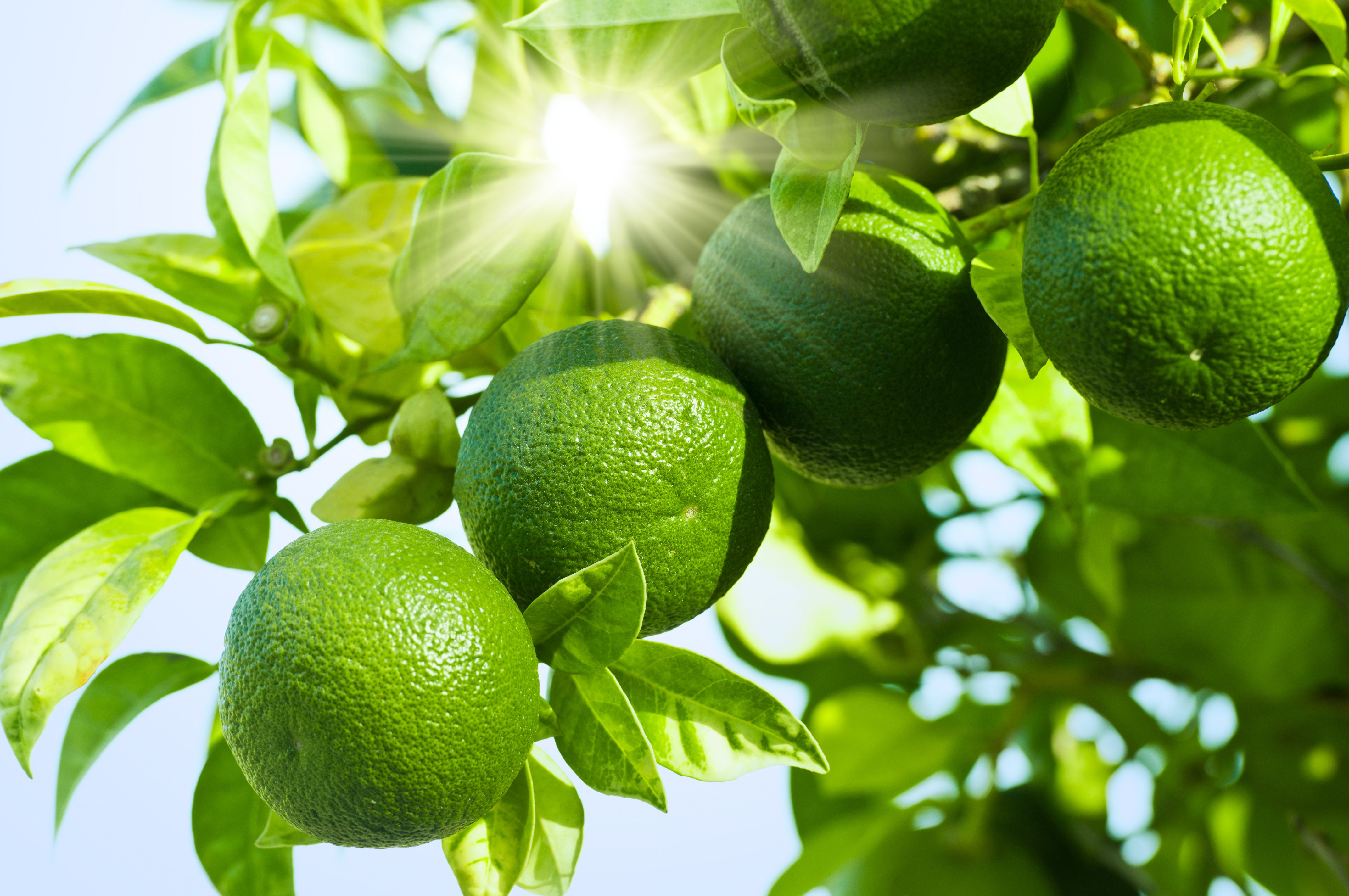Limes in a tree