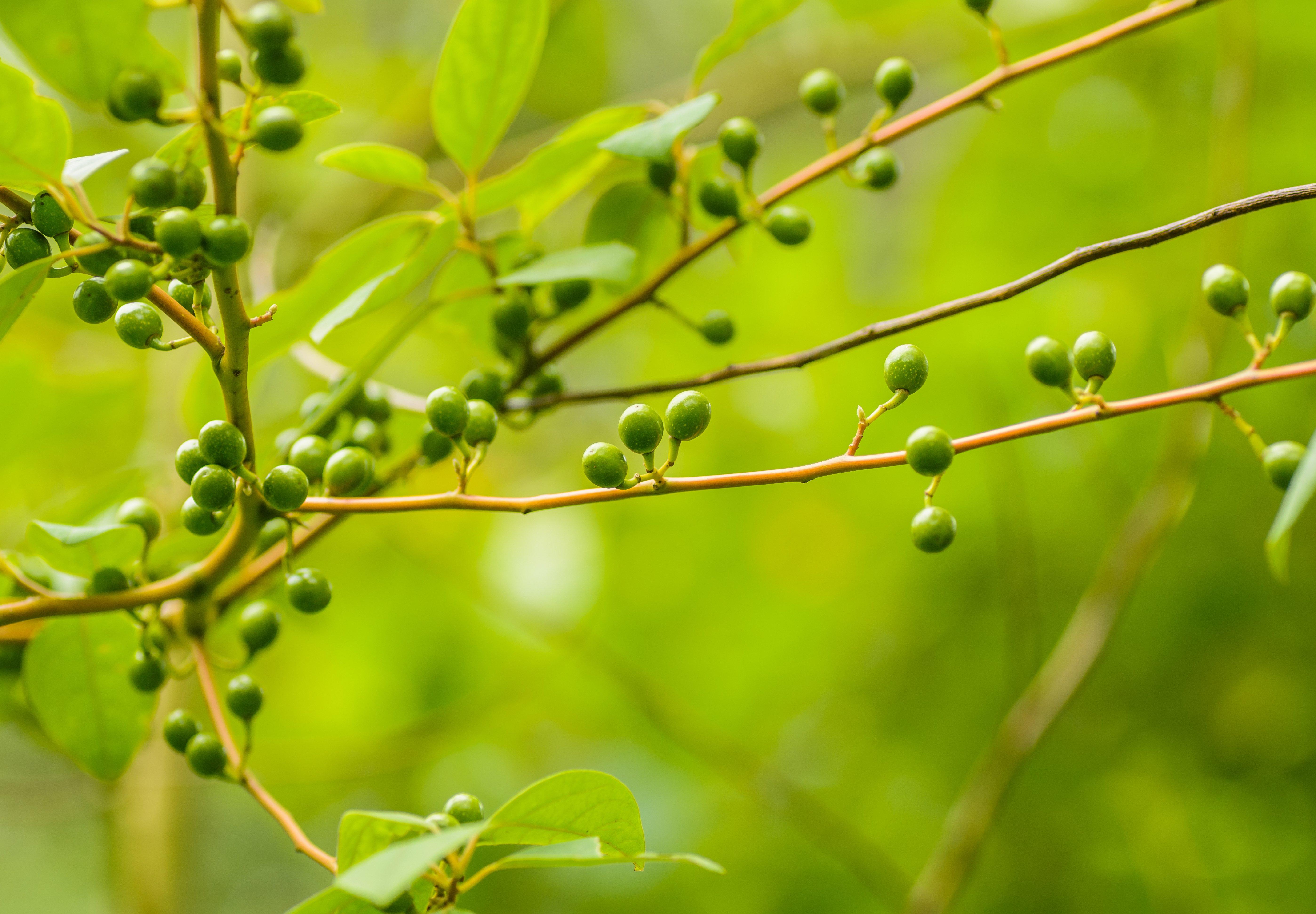 Bead Plants