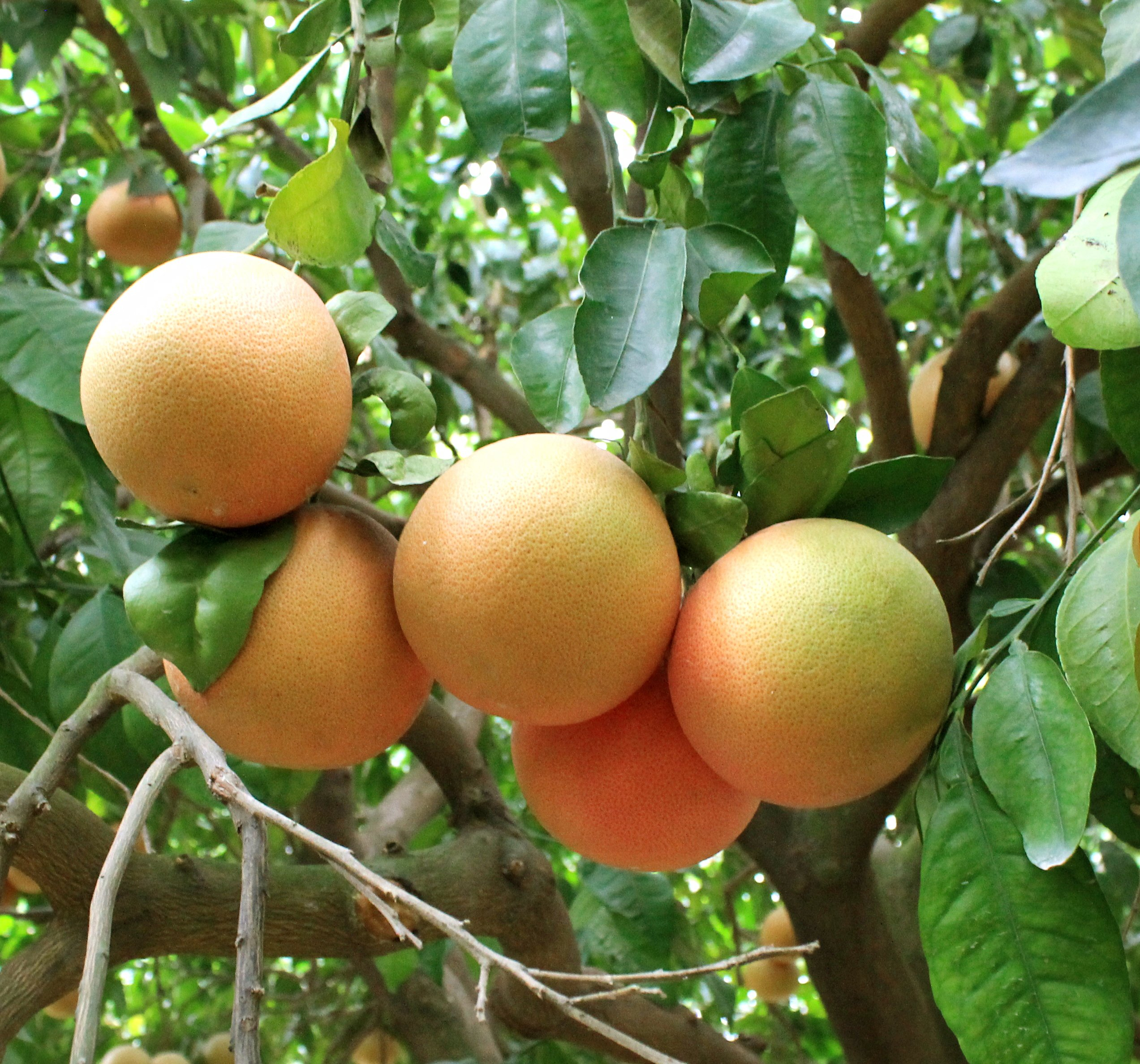 Citrus fruit on a tree