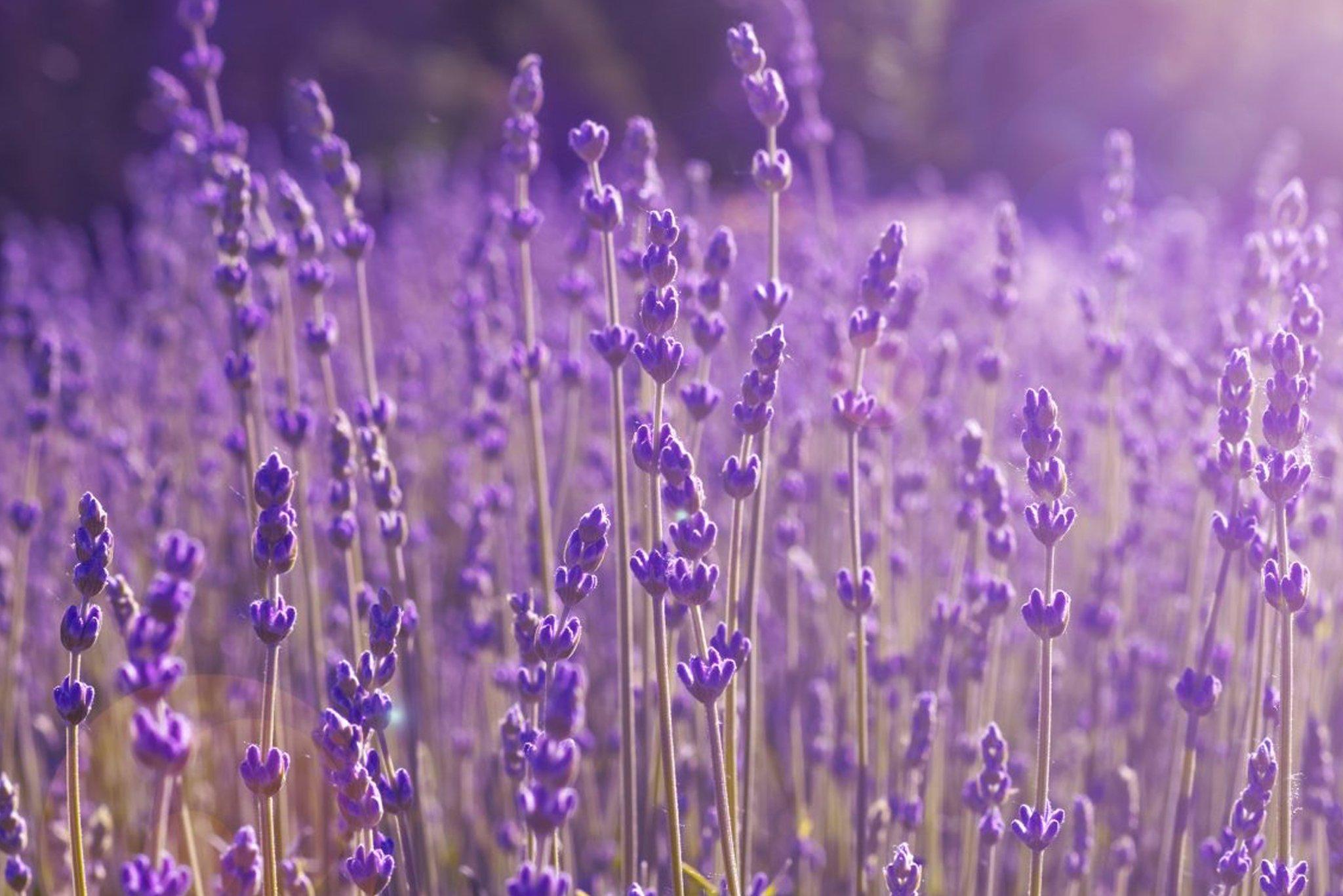 Lavender plants in a field